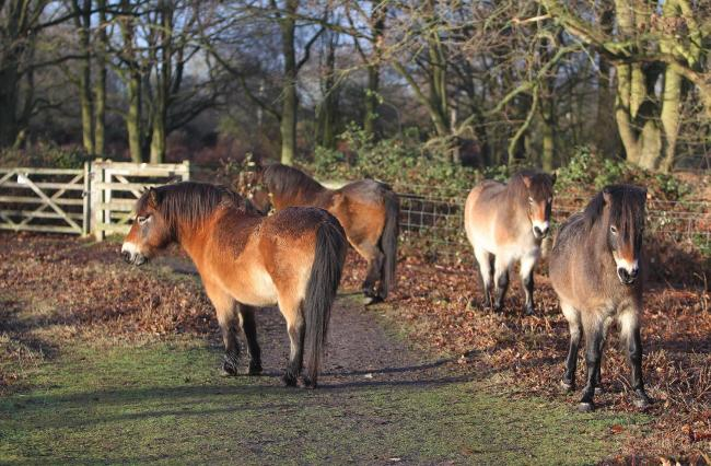 Conservation - ponies on Tiptree Heath before some were moved