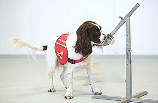 Sniffer dogs are being trained to sniff out Covid-19 on humans. Source: Department for Health and Social Care