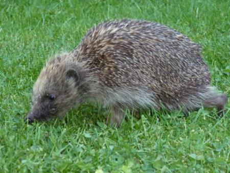 Henry the hedgehog,taken by PETER BECKETT, from Maldon.