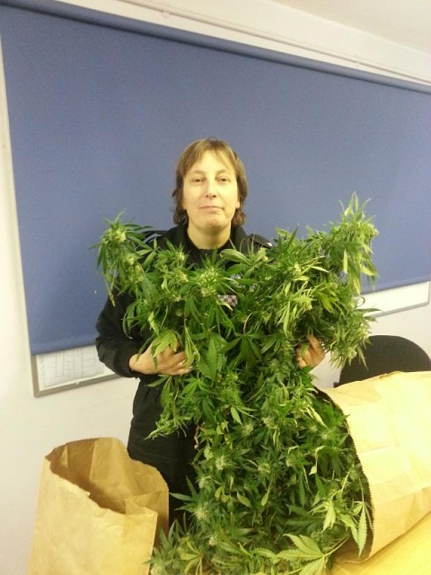 Maldon and Burnham Standard: Inspector Chris Kilgallen, of Maldon Police, with some of the cannabis plants that were seized in recent raids.