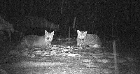 These foxes were captured in a Maldon back garden by reader Gareth Jones