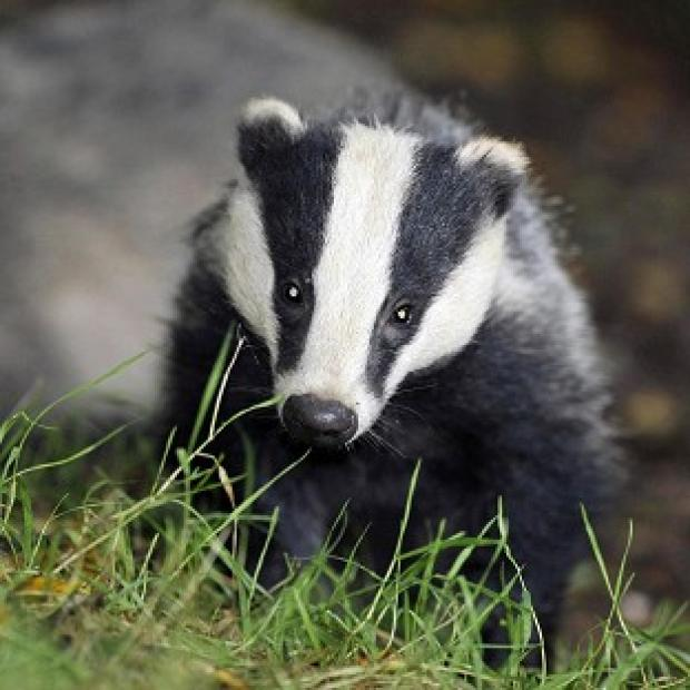 Maldon and Burnham Standard: Pilot badger culls in Somerset and Gloucestershire caused suffering to the animals, an expert panel has found