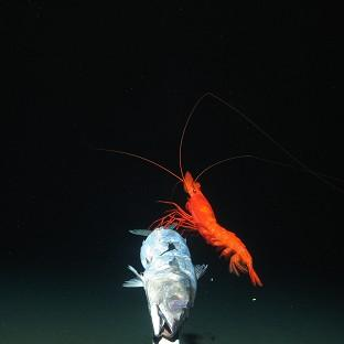Maldon and Burnham Standard: Swarms of bright red prawns were found in the trench (Oceanlab, University of Aberdeen/PA Wire)