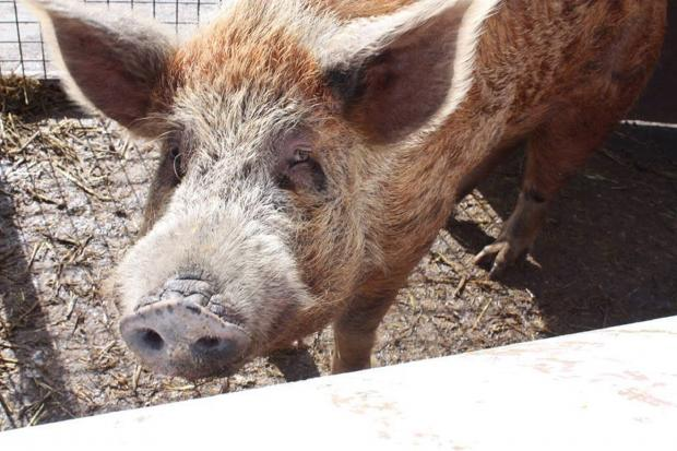 Hamilton the pig needs your help