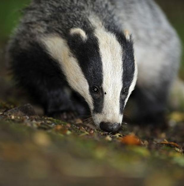 Maldon and Burnham Standard: Pilot badger culls will continue this year as part of efforts to tackle tuberculosis (TB) in cattle