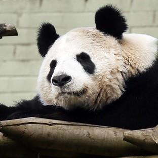Maldon and Burnham Standard: Experts at Edinburgh Zoo say female panda Tian Tian will soon be ready to mate