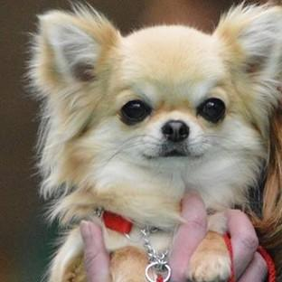 Valenchino Chihuahua Xena was named Best Puppy in Breed at Crufts 2014 (Humberside Police/PA)