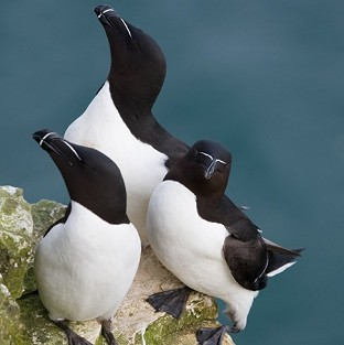 Experts puzzled by razorbill rescue