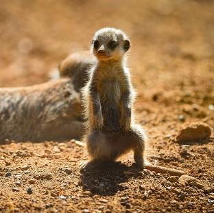 Five baby meerkats have been born at Chester Zoo.