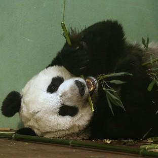 Experts at Edinburgh Zoo said Tian Tian should have gone into labour over the weekend but