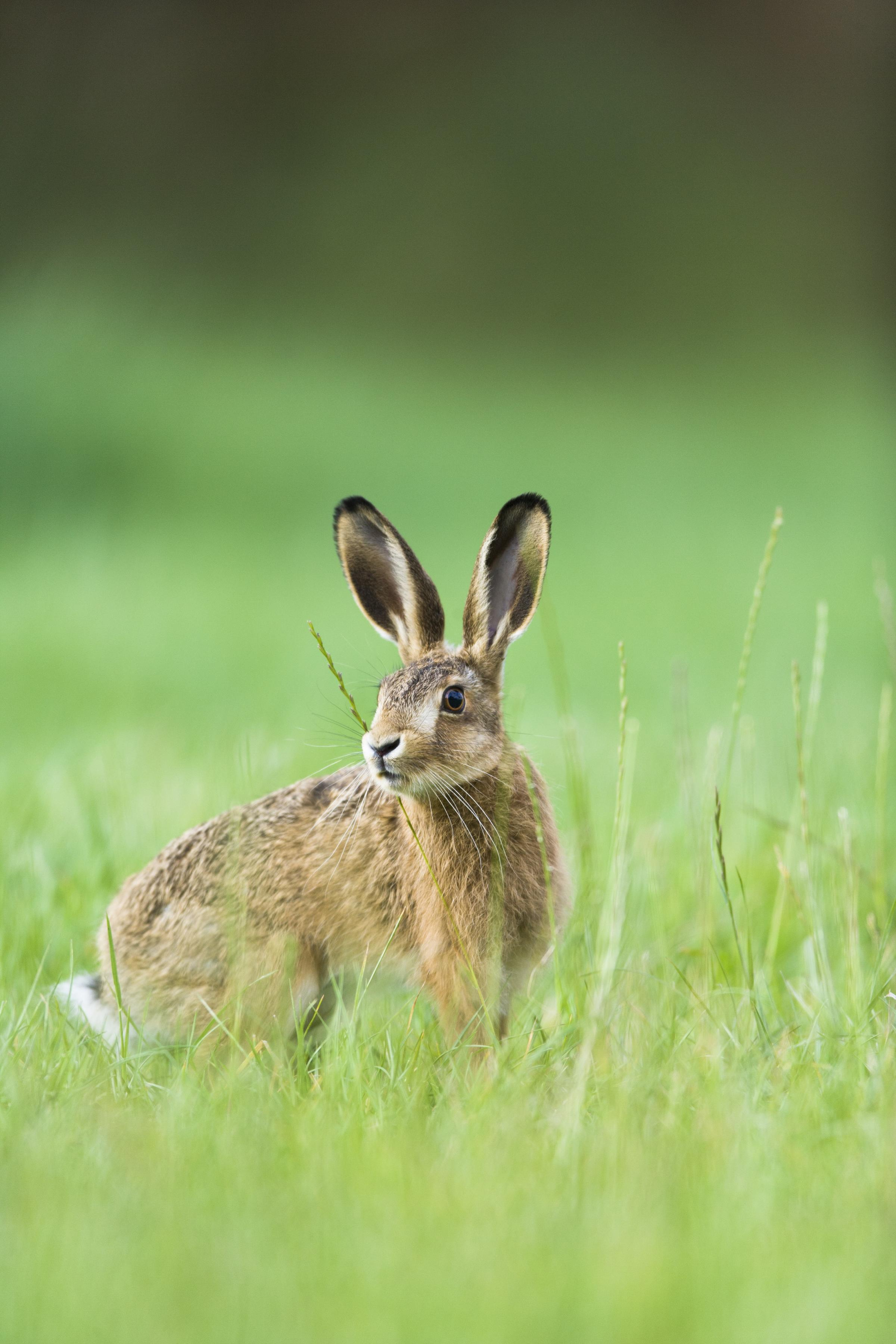 A Halstead hare in the grass. Picture: Elliott Neep