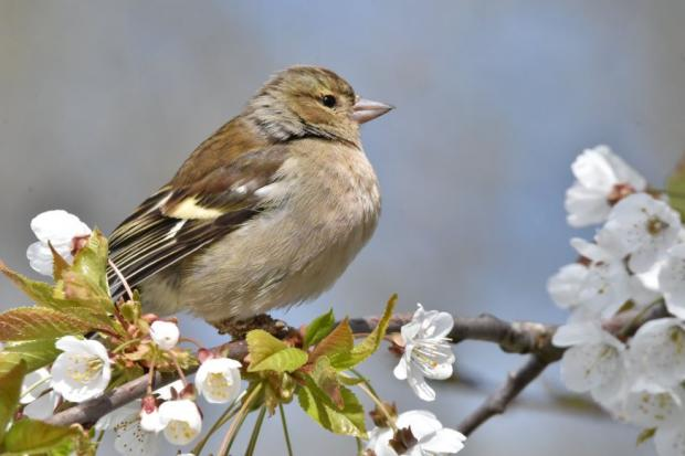 Maldon and Burnham Standard: Sandra Burden, female chaffinch